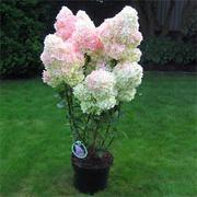 Egrow 20Pcs Hydrangea Flower Seed